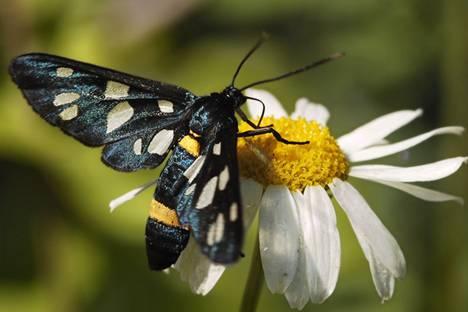 Фотографии красивых бабочек дневных и ночных (отряд.